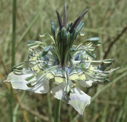 קצח השדה Nigella arvensis L.