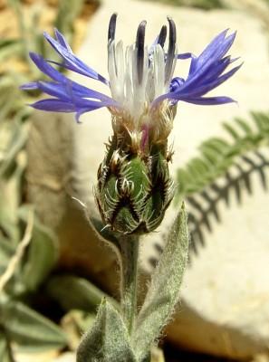 דרדר ססגוני Centaurea triumfettii All.
