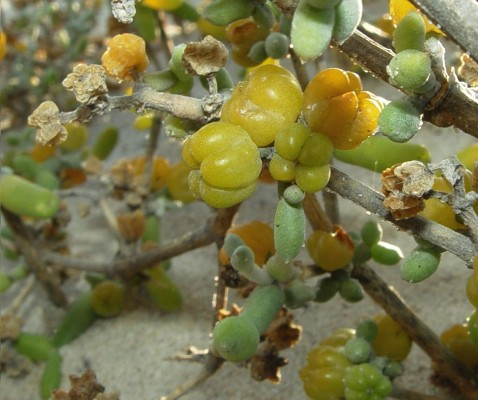 זוגן לבן Zygophyllum album L f.