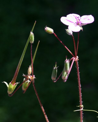 Erodium acaule (L.) Becherer & Thell.