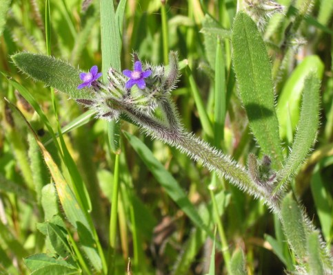 Hormuzakia aggregata (Lehm.) Gusuleac
