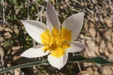 צמחי ערבות הנגב, מואב ואדום. צבע עלי-העטיף מבפנים לבן עם כתם צהוב בבסיסם.