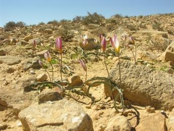 עמוד הפרחים נושא כרגיל 2 פרחים, לפעמים 1 או 3.