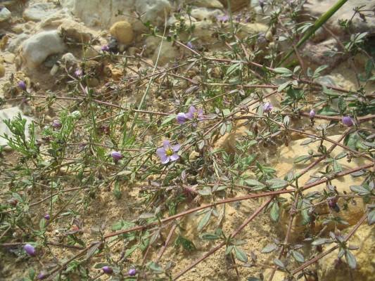 פגוניה דביקה Fagonia glutinosa Delile