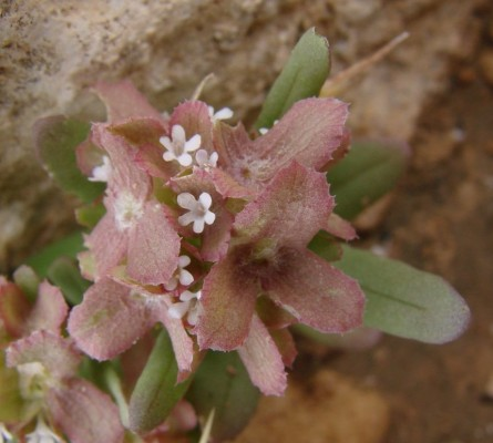 ולריינית מכונפת Valerianella dufresnia Boiss.