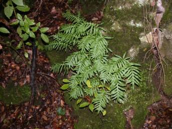 עשבים רב-שנתיים גדלים בצפון הארץ על גזעי עצים- או סלעים לחים. העלים בעלי פטוטרת ארוכה ומנוצים פעם אחת.
