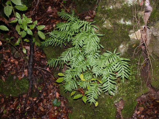 רב-רגל פשוט Polypodium cambricum L.