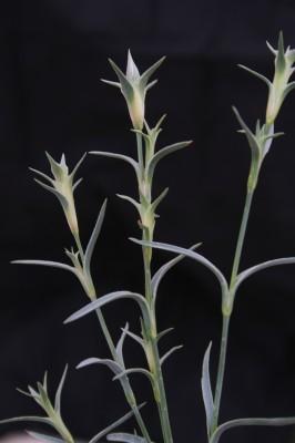 ציפורן יהודה Dianthus monadelphus Vent.