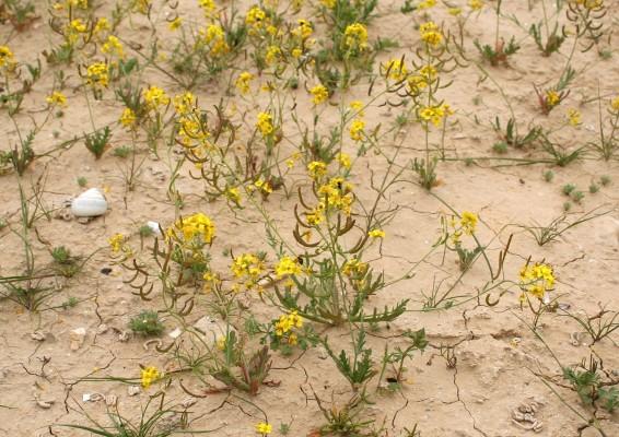 גרגריון ערבי Nasturtiopsis coronopifolia (Desf.) Boiss.