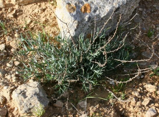 אלניה אזמלנית Halothamnus lancifolius (Boiss.) Kothe-Heinrich
