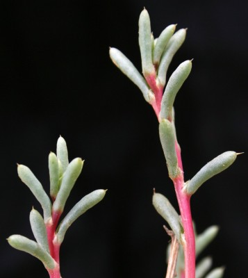 Agathophora alopecuroides (Delile)Fenzl ex Bunge