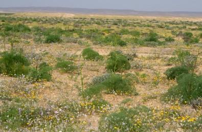 הפרי הבשל חום-צהבהב. צמחים בגדלים במדבר, על קרקעות חוליות ובערוצים, גובהם עד 1.5 מ'.