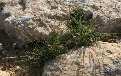 צמחים הגדלים בגושים בודדים בסדקי סלעים ובכיסי קרקע בערבות.