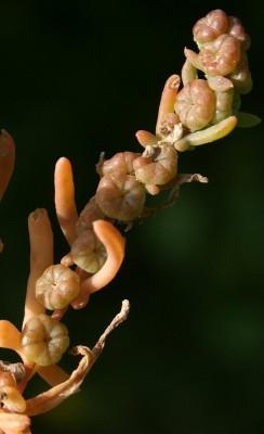 Tetradiclis tenella (Ehrenb.) Litv.