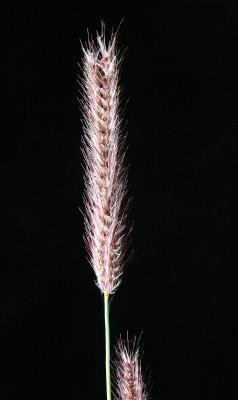 ארבעוני שעיר Tetrapogon villosus Desf.