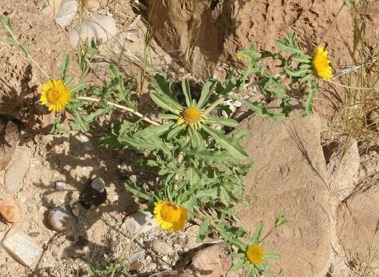 כוכב ריחני Asteriscus graveolens (Forssk.) Less.