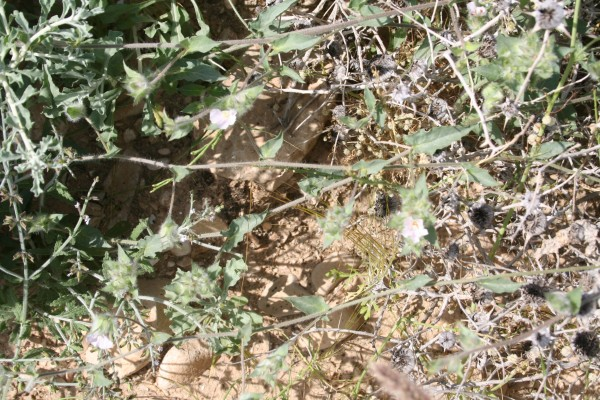 חבלבל מגובב Convolvulus auricomus (A.Rich.) Bhandari