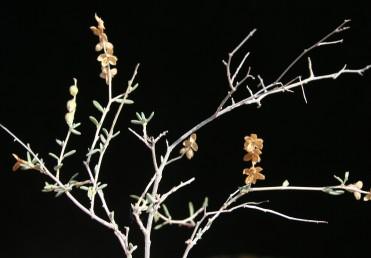 הענפים מסועפים, סבוכים, רובם אופקיים או כמעט אופקיים, מלבינים ומבריקים, קשיחים ודוקרניים לאחר הפריחה. הפירות נפתחים בהבשלה