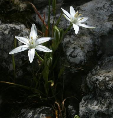 נץ-חלב הררי Ornithogalum montanum Cirillo