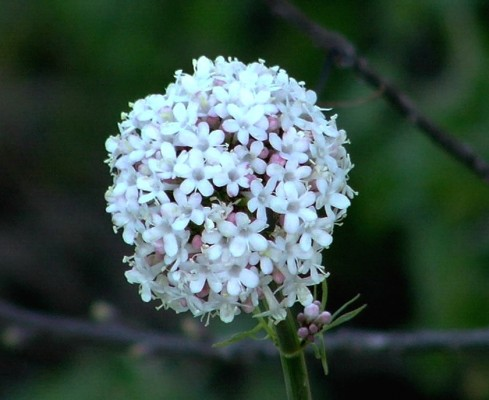 ולריינה איטלקית Valeriana dioscoridis Sm.