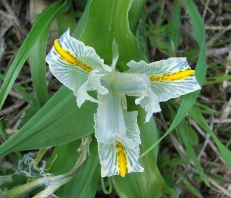 אירוס ארץ-ישראלי Iris palaestina (Baker) Boiss.