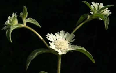 חפי המעטפת קצרים מהפרחים. קרקפות הפרחים נישאות על עוקצים קצרים, יושבים כמעט.