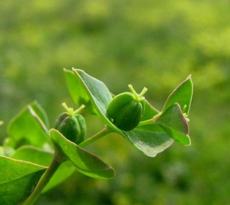 Euphorbia phymatosperma Boiss. & Gaill.