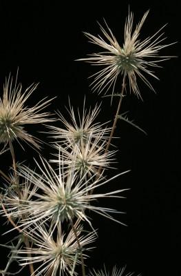 קיפודן בלאנש Echinops polyceras Boiss.