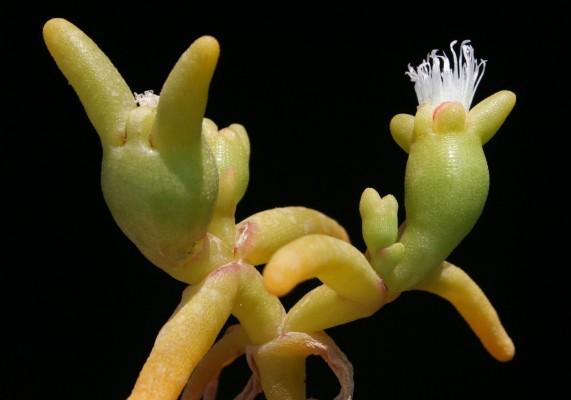 Opophytum forsskalii (Hochst. ex Boiss.) N.E.Br.
