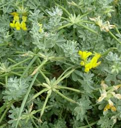 צמחים מכסיפים-מאפירים מכוסים בשערות הדוקות צפופות.