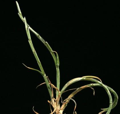 דק-זנב קשתני Parapholis incurva (L.) C.E.Hubb.
