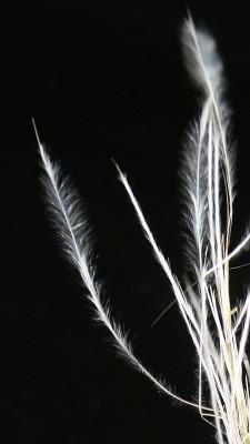 מלענן יפה-שער Stipagrostis raddiana (Savi) de Winter