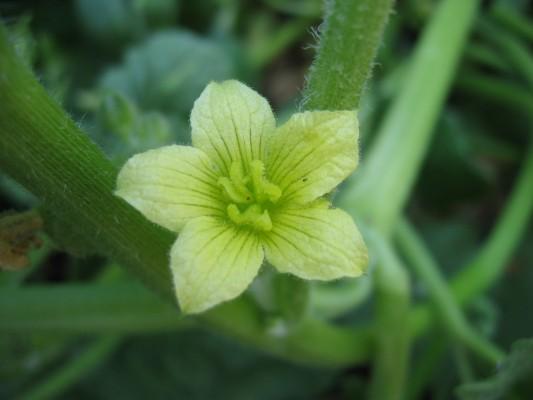 ירוקת-חמור מצויה Ecballium elaterium (L.) A.Rich.
