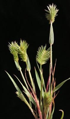 Eremopyrum bonaepartis (Spreng.) Nevski