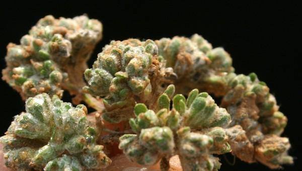 Lasiopogon muscoides (Desf.) DC.