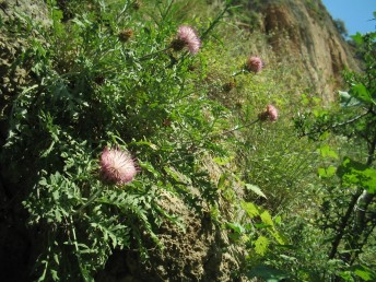צמחי צוקים בצפון הארץ.