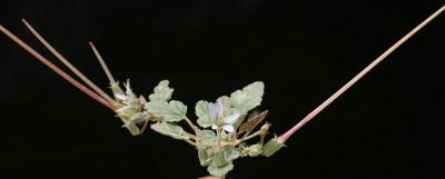 עשבים חד-שנתיים מלבינים. צבע הכותרת תכול-חיוור. זירי האבקנים שעירים.