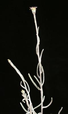 Jurinea staehelinae (DC.) Boiss.