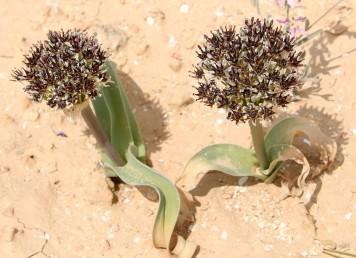 צמחים נמוכים, 20-6 ס