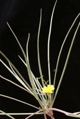 מסורן סרגלני Koelpinia linearis Pall.