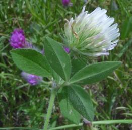 הכותרת לבנה. בעת הפריחה הקרקפת כדורית ומתארכת לאחר ההפריה.