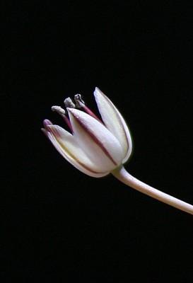 Allium sindjarense Regel