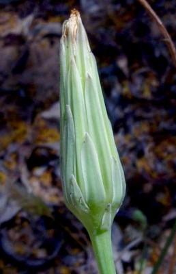 היפוכריס קירח Hypochaeris glabra L.