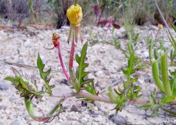 צבע הפרחים צהוב. לפחות חלק מהעלים בעלי אונות עמוקות או משוננים, חלקם כמעט תמימים.