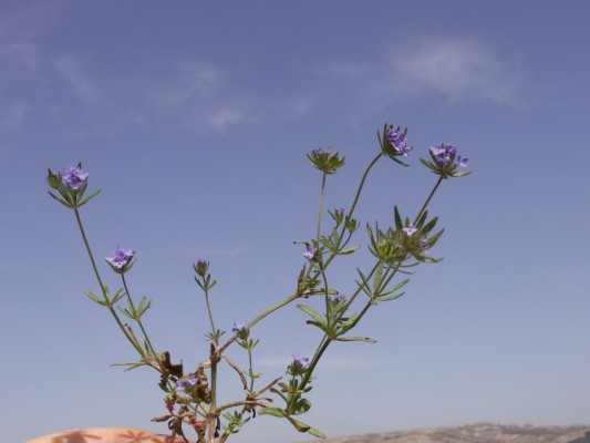 חספסנית השדה Asperula arvensis L.
