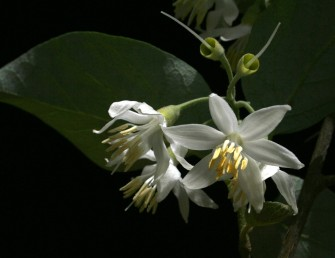 הפרחים לבני-כותרת.