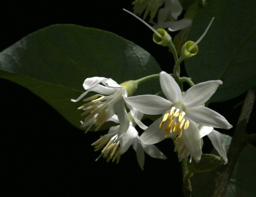 לבנה רפואי Styrax officinalis L.