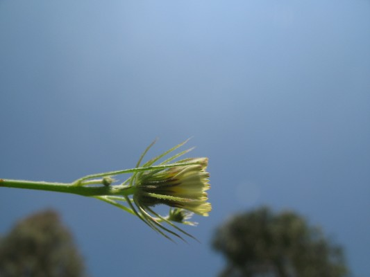 קיטה סוככנית Tolpis barbata (L.) Gaertn.