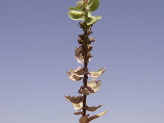 דו-פרית מכורבלת Aethionema carneum (Banks & Sol.) B.Fedtsch.