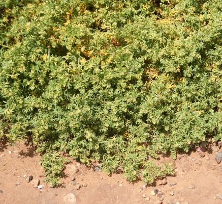 Coronopus didymus (L.) Sm.